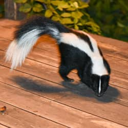 skunk on a homes deck