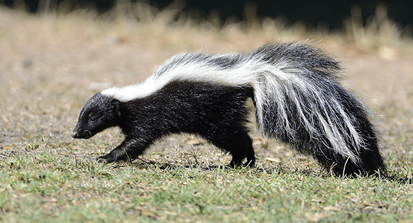 skunk found in south portland