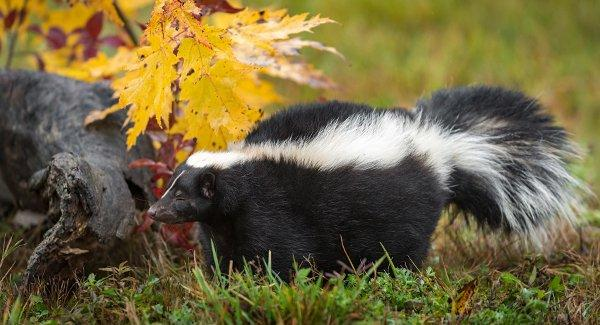 skunk walking in grass