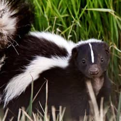 skunk outside an RI home