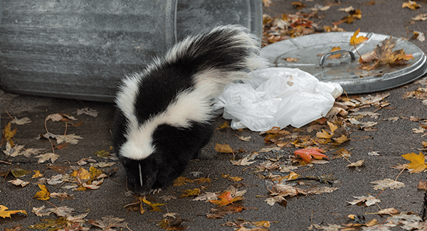 skunk getting into trash