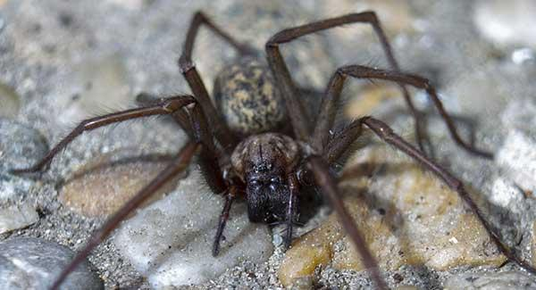 spider on pebble floor in home