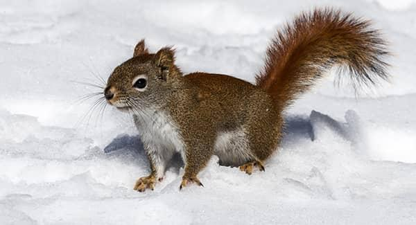 squirrel outside in the snow