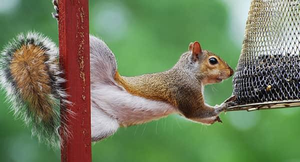 squirrel eating bird seed