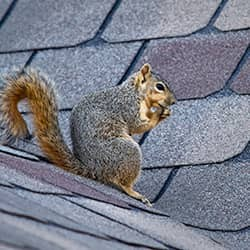 squirrel on roofline