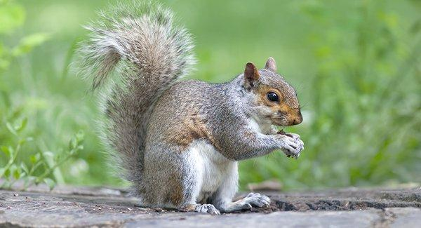 a squirrel deterred by wildlife pest control