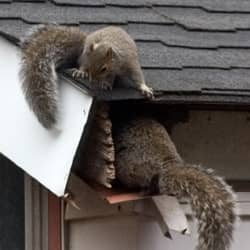 squirrels getting into house through a hole in the roof