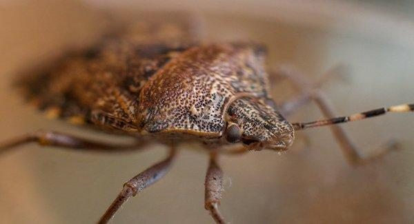 stink bug in home