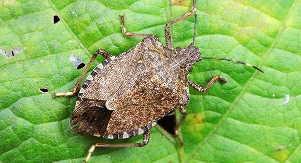 a stink bug on a leaf