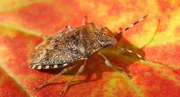 stink bug on red and yellow leaf