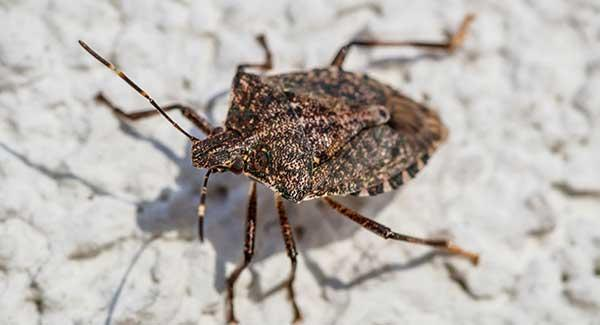 stink bug on wall in a home