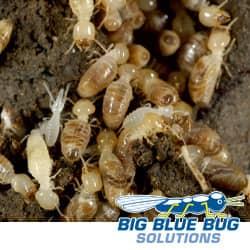 ri termite infestation