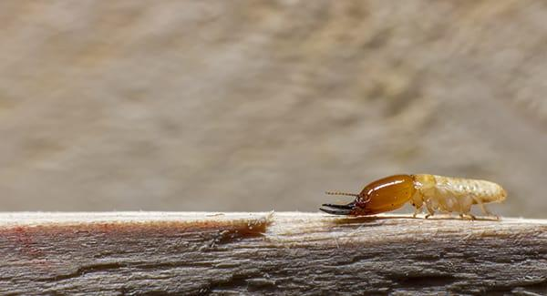a termite crawling along a wooden structure on a providence road island property