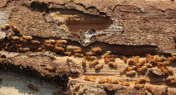 a large colony of termites infesting a worchester massachusettes home during winter season