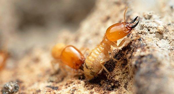 termites in rotten wood