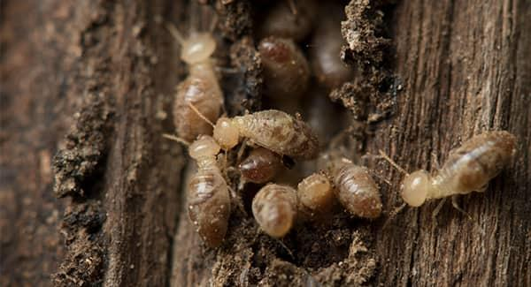 termite swarmers eating wholes in wooden structure of new england property