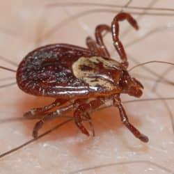 tick crawling on skin