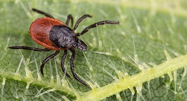 a black legged tick crawlong along a vibrant geen leaf while it is ready t pounce on its next host that passes