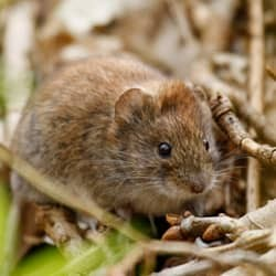 vole in the back of a massachusetts home