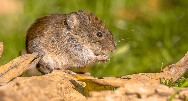 vole up close