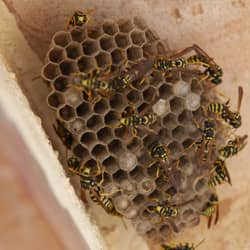 wasp nest found in the attic of a providence home