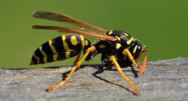 wasp on a fence