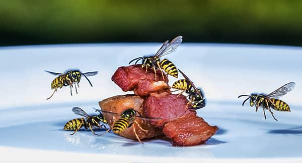 a large colony of wasps flying and infesting a meaty meal plated on a southern portland property