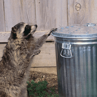 raccoon trying to get into a trash can