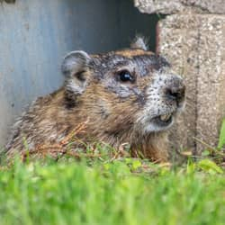woodchuck under a home in rhode island