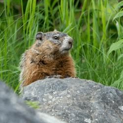 woodchuck on rock