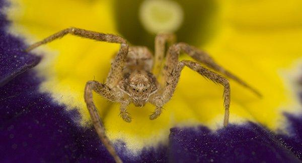 a yellow sac spider crawling inside of a flower