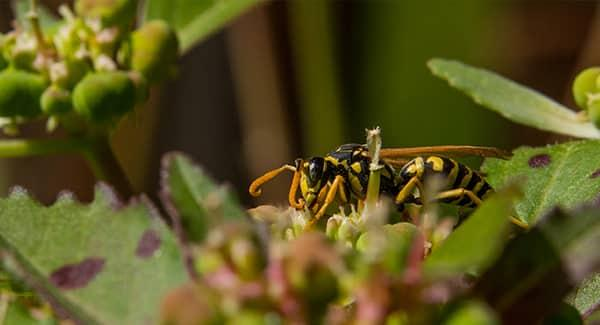 a yellow jacket resting on a green shrub in a south portland garden