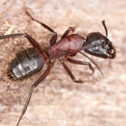 What Do Carpenter Ants Look Like Carpenter Ants Faq