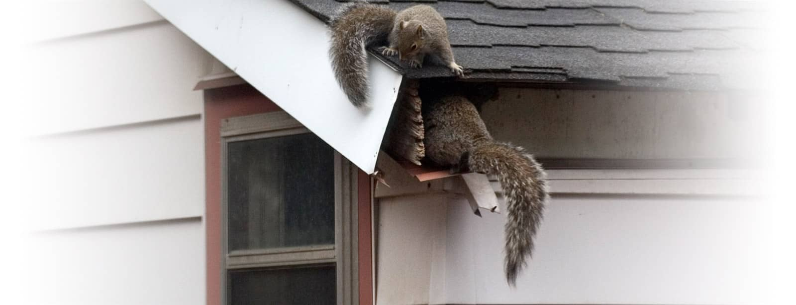 gray squirrels entering a rhode island home