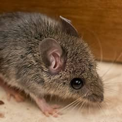 small brown house mouse in a providence home