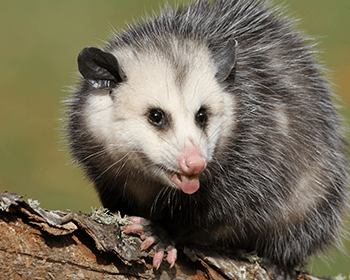opossum outside ct home looking for foos