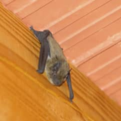 bat inside a home