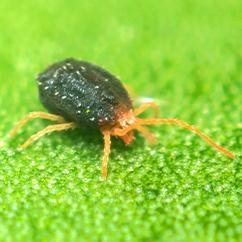 clover mite on a leaf outside a home