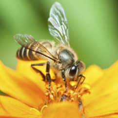 honey bees getting nectar from from a yellow flower