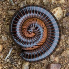 millipede curled up on the ground