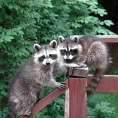 raccoons on porch railing
