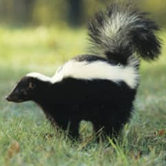 skunk on a lawn in massachusetts