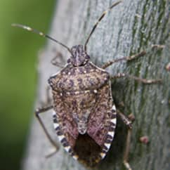 stink bug on a tree outside a massachusetts home