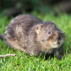 vole in a yard