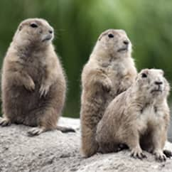 woodchucks sitting on a rock outside a home