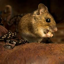 mouse looking for food in a home
