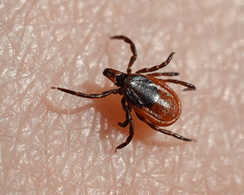 tick on a mainers arm