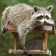 raccoon laying on top of a bird feeder