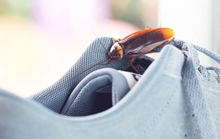 american cockroach on a sneaker