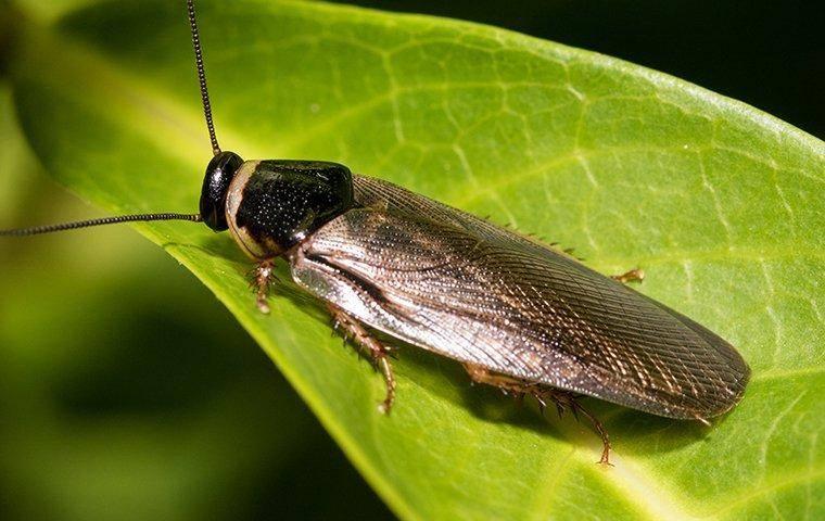 an asian cockroach